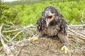 Птенец орлана-белохвоста с кольцами. Фото Д. Кителя