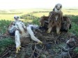 Птенцы орла-могильника в гнезде с кучей ежей. Фото Р. Бекмансурова