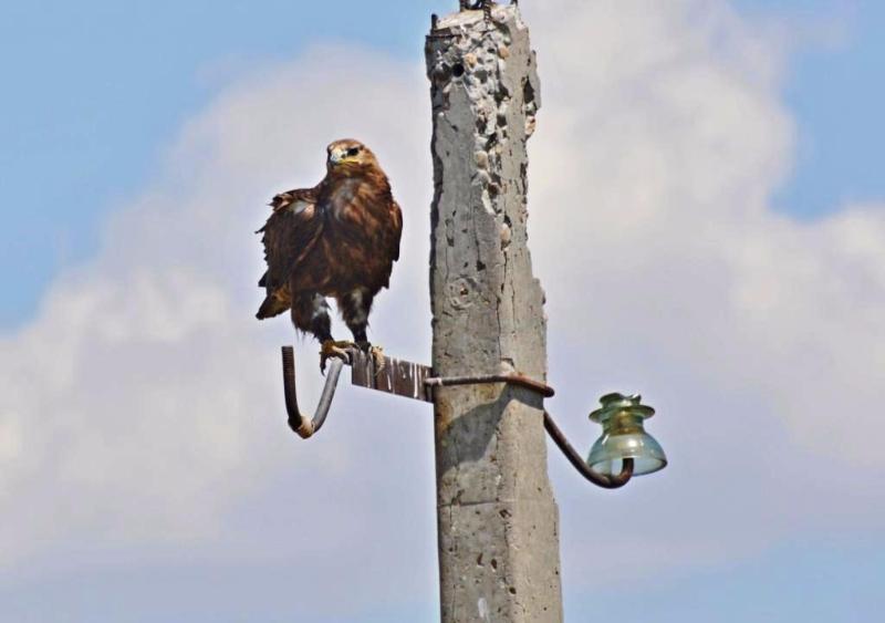 Степной орел на нерабочей опоре птицеопасной ЛЭП. Республика Калмыкия. Фото с сайта заповедника «Черные Земли»