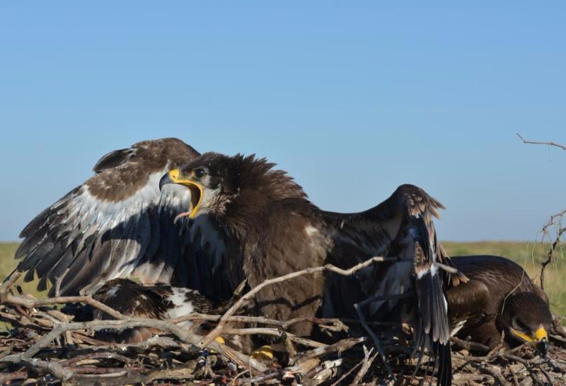 Гнездо степного орла. Республика Калмыкия. Фото с сайта заповедника «Черные Земли»
