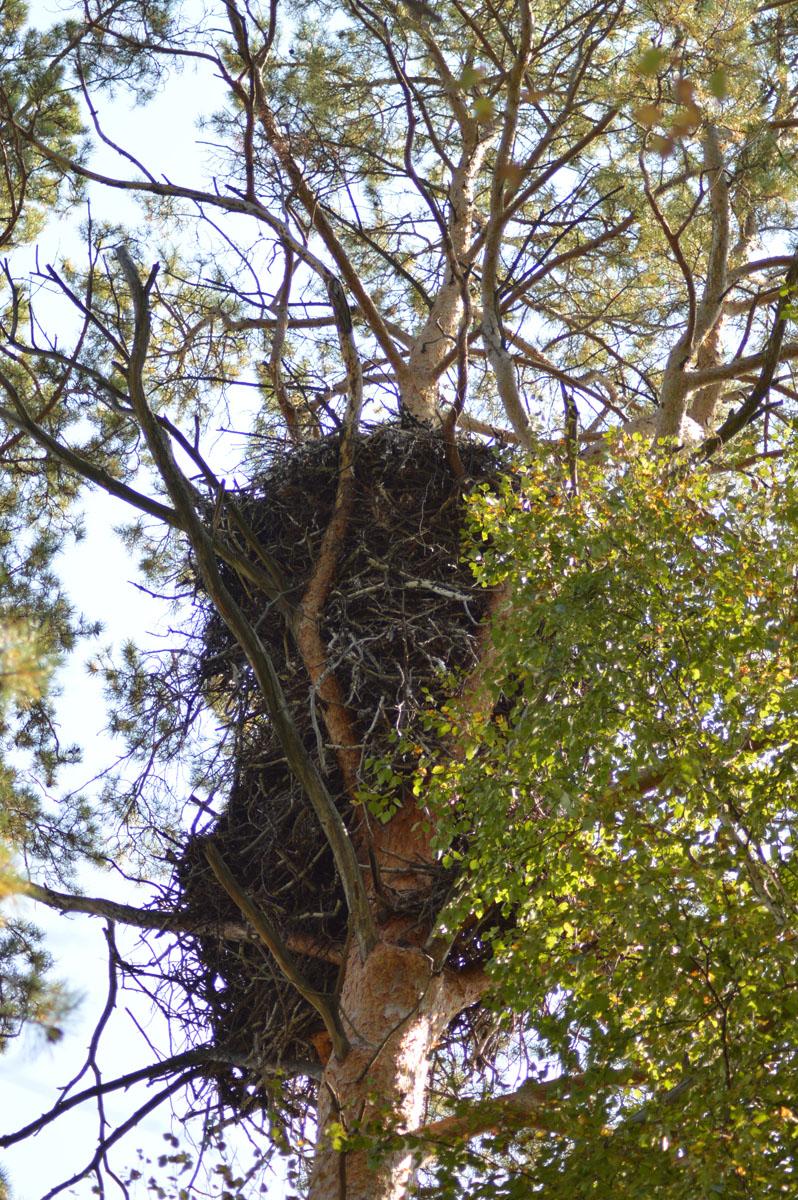 Одно из старейших гнёзд орлана-белохвоста, выявленное в Алеусской боровой ленте ещё в начале 2000-х гг. до сих пор занимается орланами - в 2017 г. в нём успешно вырос 1 птенец. Фото И. Карякина