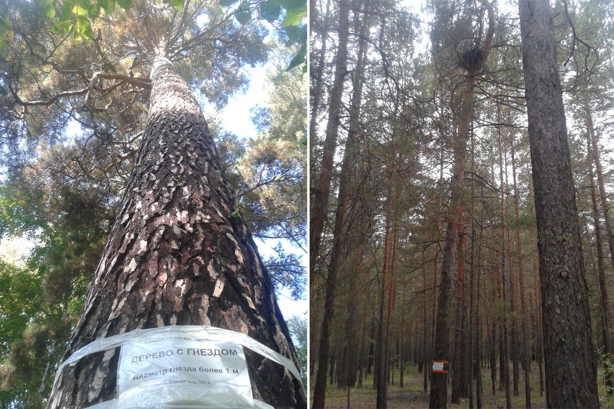Деревья с гнёздами, маркированные табличками. Фото И. Карякина