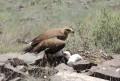 Самка степного орла на гнезде с птенцами. Фото А. Барашковой