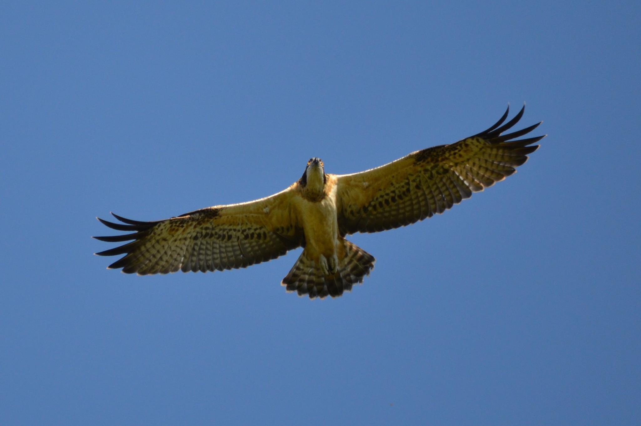 Osprey. Photo by M. Sidenko