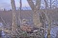 Веб-камера на гнезде орлана-белохвоста в Латвии № 2