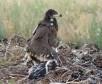 Птенец степного орла с трекером. Фото И. Карякина