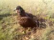 Степной орёл с трекером. Фото И. Карякина